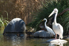 Pelican Egret and Ducks Stock Image
