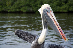 Pelican at the Everglades, Florida, USA Royalty Free Stock Images