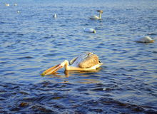 Pelican exploring plastic garbage for food Royalty Free Stock Photography