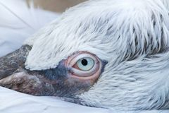 Pelican eye macro Royalty Free Stock Photography
