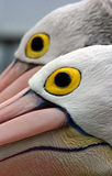 Pelican Eyes. Taken at the Entrance, Australia using a 70-200mm telephoto lens to get up close with these wonderful birds Stock Image