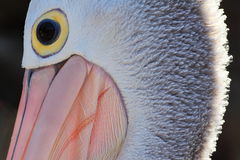 Pelican face close-up Stock Images