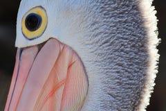 Pelican face details Stock Images