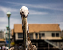 Pelican facing camera Royalty Free Stock Photo