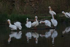 White Pelicans enjoying the spring weather royalty free stock image