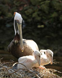 Pelican family looking out of nest. Family of Pelicans in a nest with babies looking over the side Royalty Free Stock Photography