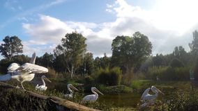 Pelican Family in Nature stock video footage