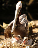 Pelican family time. Pelican mother with two young chicks in nest Royalty Free Stock Photos