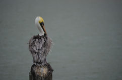 Pelican Fanning His Feathers. In Palacios, Texas stock photo