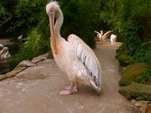 Pelican, Fauna, Beak, Seabird royalty free stock images