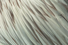 Pelican Feathers. An Abstract Closeup Row of Pelican Feathers stock photography
