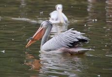 Pelican feeding Stock Image
