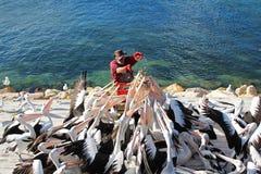 Pelican feeding Royalty Free Stock Photos