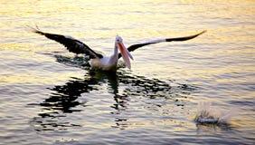 Pelican feeding Australia (Pelecanus) Stock Images