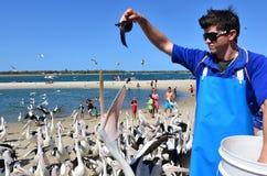 Pelican feeding - Gold Coast Queensland Australia. GOLD COAST, AUS - OCT 01:Pelican feeding frenzy at Labrador Gold Coast , Australia.Pelicans are the largest stock image