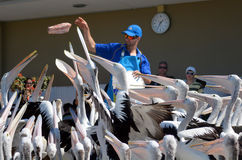 Pelican feeding - Gold Coast Queensland Australia Stock Photography