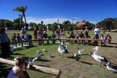 Pelican Feeding - Kalbarri. The daily feeding of Pelicans at Kalbarri , Western Australia stock photography