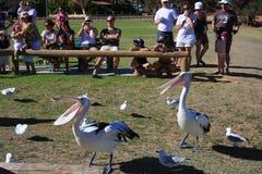 Pelican Feeding - Kalbarri. The daily feeding of Pelicans at Kalbarri , Western Australia stock photos