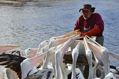 Daily pelican feeding at Kingscote royalty free stock image