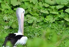 Pelican. Feeding in nature.Wild animals before camera Stock Photography