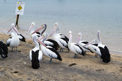 Pelican feeding in San Remo stock images