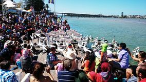 Pelican Feeding Show Royalty Free Stock Image