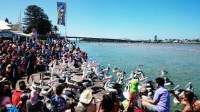Pelican Feeding Show Royalty Free Stock Photography