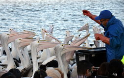 Pelican Feeding Show at The Entrance Royalty Free Stock Photography