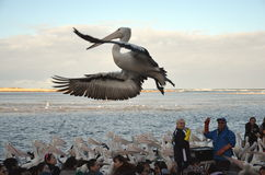 Pelican Feeding show at The Entrance Royalty Free Stock Photo