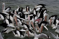 Pelican feeding - Stock image Royalty Free Stock Images