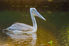 Pelican feeding on water reflection South Africa royalty free stock images