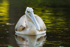 Pelican feeding on water reflection South Africa Stock Photo