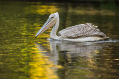 Pelican feeding on water reflection South Africa royalty free stock photos