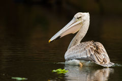 Pelican feeding on water reflection South Africa Stock Photos
