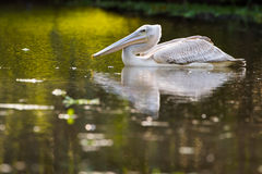 Pelican feeding on water reflection South Africa royalty free stock photo