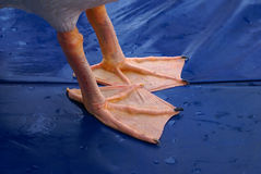 Pelican feet Stock Image