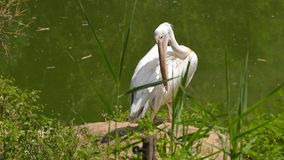 Pelican female cleaning the pens. Off the pond water royalty free stock photography
