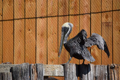 Pelican on Fence Stock Photography