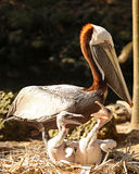 Pelican with fighting babies. Pelican looks so patient as her young hatchlings fight with each other and make very loud sounds Royalty Free Stock Photo