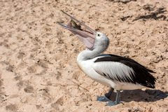 Pelican while fighting for food Royalty Free Stock Images