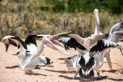 Pelican while fighting for food Stock Photography