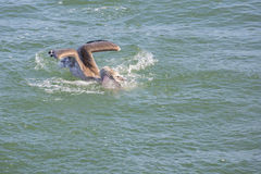 A Pelican Fish Hunting Stock Images