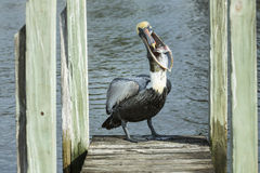 Pelican with fish royalty free stock photography