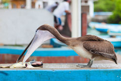 Pelican at fish market Royalty Free Stock Photo