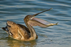 Pelican with fish 2 Royalty Free Stock Images