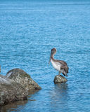 Pelican with Fishing Lure stock image