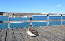 Pelican on Fishing Pier Stock Photography
