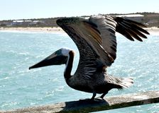 Pelican on fishing pier royalty free stock images