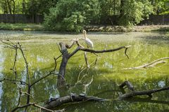 A pelican and five turtles on a lake. A pelican resting on a tree`s dry tree and five turtles on a lake stock photos