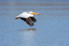 Pelican Flies Above the Blue Water. Beak pointed forward, black tipped feathers positioned downward, a single American white pelican glidess across rippling blue royalty free stock photos